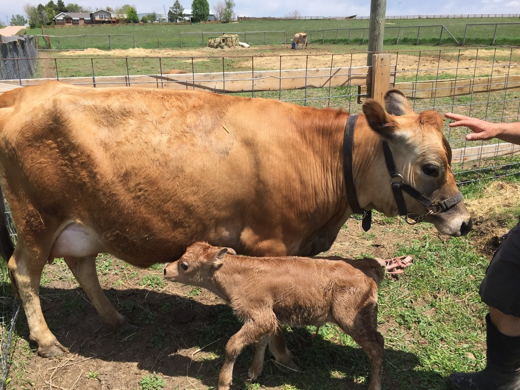 Mini Jersey Cows Calves For Sale Dionne Family Farms Mini Jersey Cows